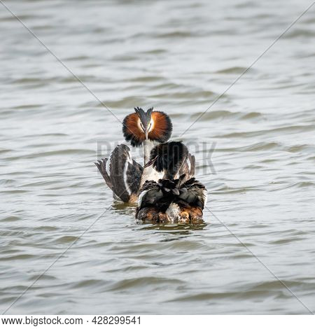 Great Crested Grebes Courtship Display 4 Of 4. During The Courtship Ritual, Great Crested Grebes Dis