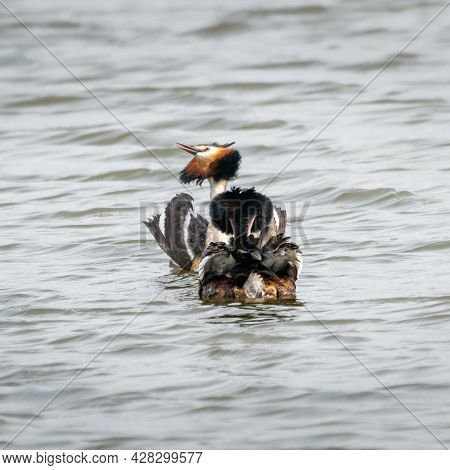 Great Crested Grebes Courtship Display 3 Of 4. During The Courtship Ritual, Great Crested Grebes Dis
