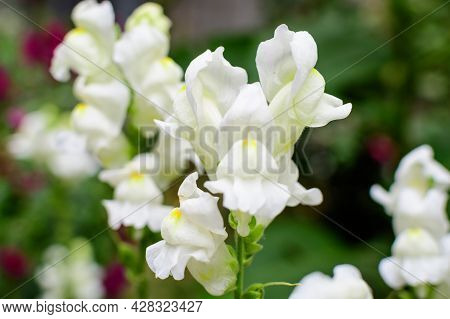 Many White Dragon Flowers Or Snapdragons Or Antirrhinum In A Sunny Spring Garden