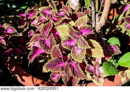 Many Green And Dark Red Leaves Of Coleus Decorative Plants In The Family Lamiaceae, In A Sunny Sprin