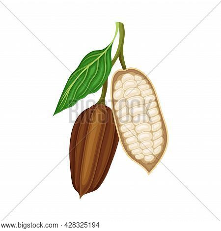 Pod Of Theobroma Cacao On Branch As Aromatic Chocolate Ingredient Vector Illustration