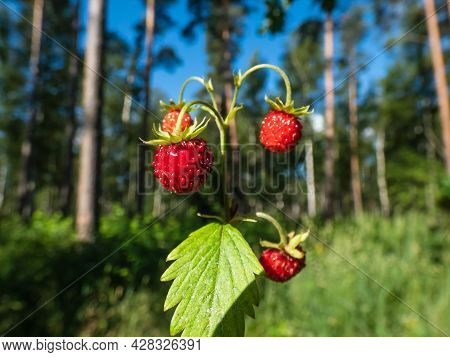 Single Plant Of Wild Strawberry (fragaria Vesca) With Perfect, Red, Ripe Fruits And Foliage Outdoors