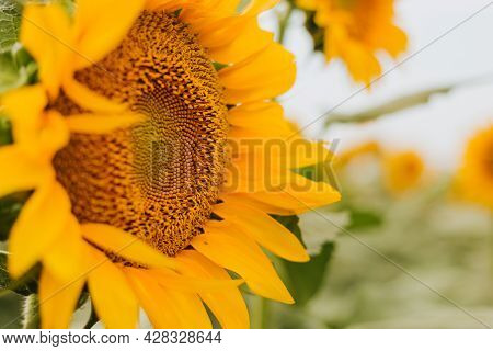 Yellow Sunflower Field Rural Landscape. Harvest Time Agriculture Farming Oil Production. Healthy Oil