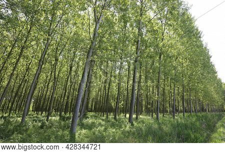Large Poplar Grove Is An Intensive Cultivation Of Populus Trees With Long Trunk Planted To Obtain Ce