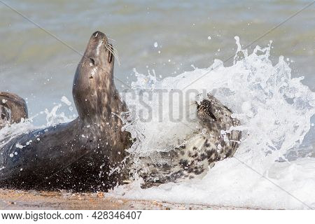 Wild Sex. Dynamic Action Wildlife Image Of Seals Mating. Animals Having Sex On The Beach With Sea Wa