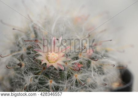 Mammillaria Bocasana Cv. Multilanata Is A Selected Cultivars Densely Covered By White Woolly Hairs S