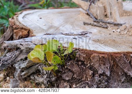 The Stump Of A Felled Tree. A Young Sprout On A Felled Tree. Cutting Down Trees. The Trunk Of A Fell