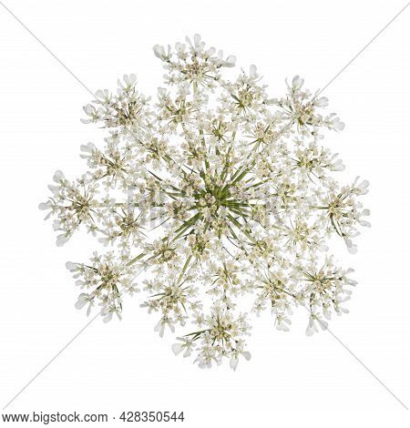 Top View Of Queen Anne's Lace Aka Daucus Carota Umbel Flower. Isolated On White Background.