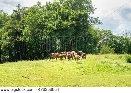 A Herd Of Grazing Horses In The Swiss Jura Mountains