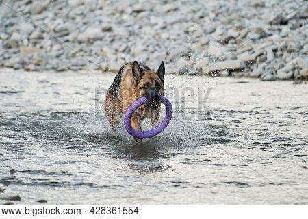 Active Walking And Playing With Dog In The Water. German Shepherd Of Black And Red Color Is Fun And