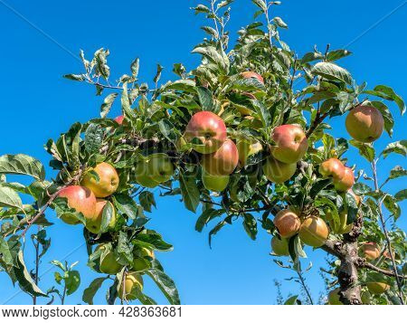 Ripen Apples On A Tree Branch. Apple Harvest In Fruit Orchard