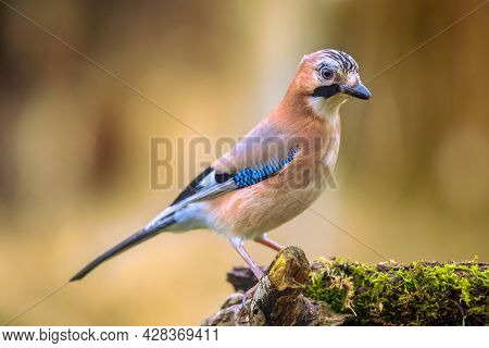 Curious Eurasian Jay (garrulus Glandarius) Bird On A Lichen And Mossy Stump In The Forest With Brigh
