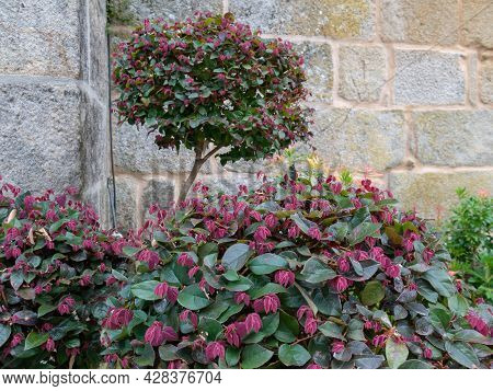 Chinese Fringe Flower Pruned Ornamental Shrub. Green Adult Leaves And Red New Growth. Loropetalum Ch