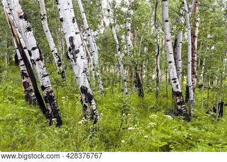 Aspen trees in the meadow along Brush creek trail near Crested Butte in Colorado