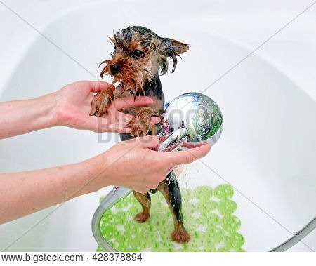 Professional Groomer Washes A Yorkshire Terrier With Water In The Bathroom.