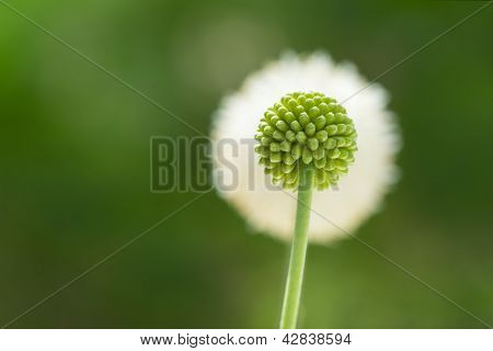 Flower Bud And Flower