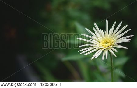 Beautiful Yellow Babandesiya Flower Isolated, Copy Space For Texts, The Natural Light Photograph Of