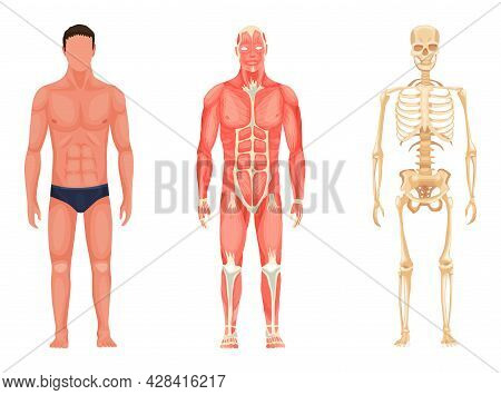 Human Anatomy. Full Lenght Front View Of Standing Man In Underwear, Muscular System And Skeleton. Me