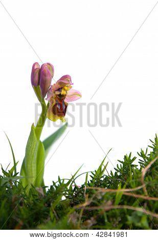 Sawfly Orchid - Ophrys Tenthredinifera