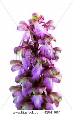 Wild Orchid - Barlia Robertiana