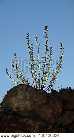 Background - Sunlit Shrub Growing On A Stone. The Leaves Of The Plant Glitter In The Incident Sun.
