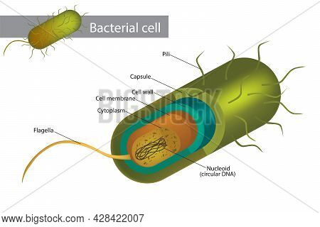 Bacteria Cell Structure. Illustration Of A Bacterial Cell Structure Shows Cell Wall, Membranes, Plas