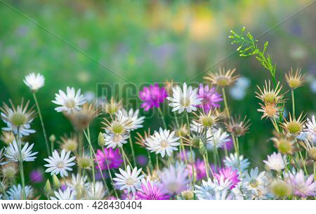 Beautiful Wildflowers On A Green Meadow, Summer Evening With A Bright Meadow At Sunset.