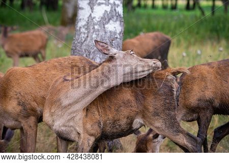 Young Deer In The Pasture, Bent On Its Back, Drives Away Dundurs. Funny Eye Gaze.