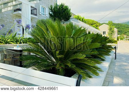 Cycas Revoluta. Lush Green Palm Leaves In Sunny Day. Rest, Vacation And Travel On Sea Coast. Green P