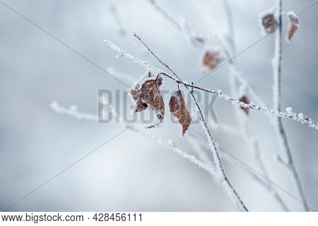 Winter View, Winter Background With Withered Leaves On A Frost-covered Tree Branch On A Blurred Back