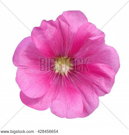 Pink Mallow Flower On A White Background.