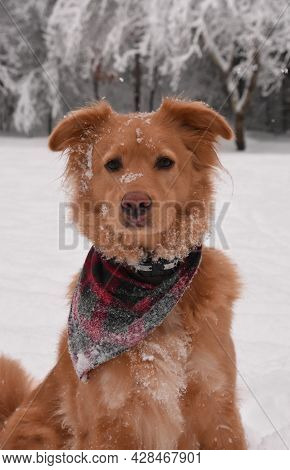 Adorable Pink Nosed Duck Tolling Retriever Dog On A Snowy Winter's Day.