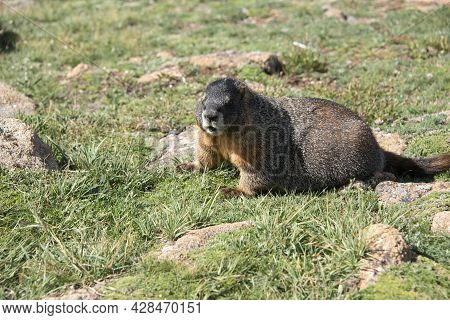 Marmot Yellow Bellied Marmots On Tundra Grass Live In The High Country Of Rocky Mountains Of Colorad