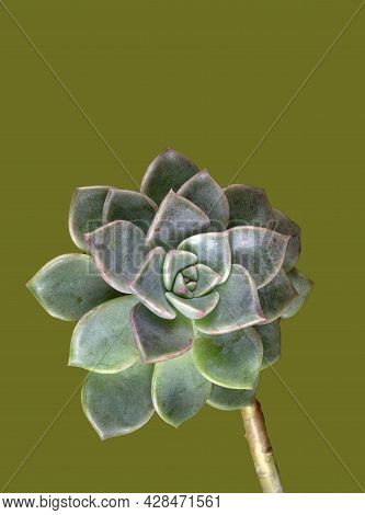 Macrophoto Of A Succulent Echeveria Cactus Plant, From The Crassulaceae Family, Shaped Like A Rose.