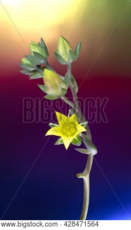 Macro Photo Of The Echeveria, Rose Cactus, Succulent Plant Yellow Flowers