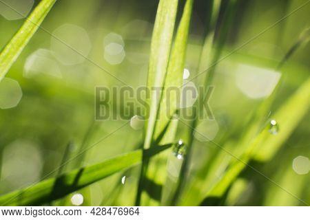 Natural Defocused Background, Green Succulent Grass With Dew Drops At Sunrise Close-up. Blurred Natu
