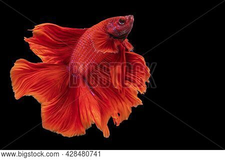 Halfmoon Betta Fighting Fish In Thailand On Isolated Black Background. The Moving Moment Beautiful O
