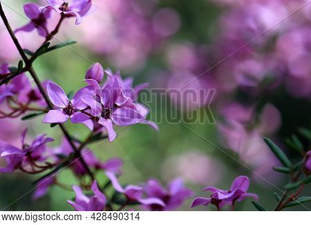 Australian Wildflower Background With Copy Space. Pink Flowers Of Boronia Ledifolia, Family Rutaceae