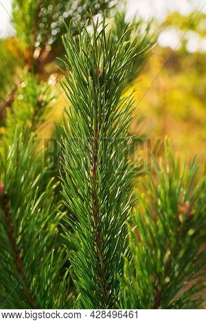 Closeup Photo Of Green Needle Pine Tree On The Right Side Of Picture. Small Pine Cones At The End Of