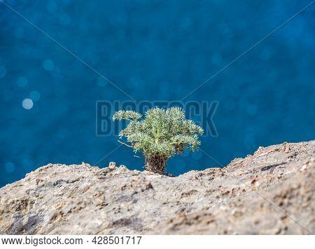 A Young Crimean Juniper Growing On A Coastal Sea Rock. A Dwarf Small Plant Makes Its Way Through The