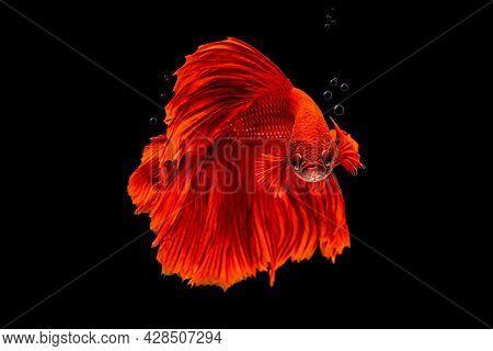 Movement Beautiful Of Colorful Siamese Betta Fish Or Half Moon Betta Splendens Fighting Fish In Thai