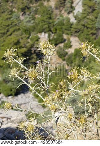 Notobasis Syriaca, The Syrian Thistle, Is A Species In The Thistle Tribe Within The Asteraceae. It I