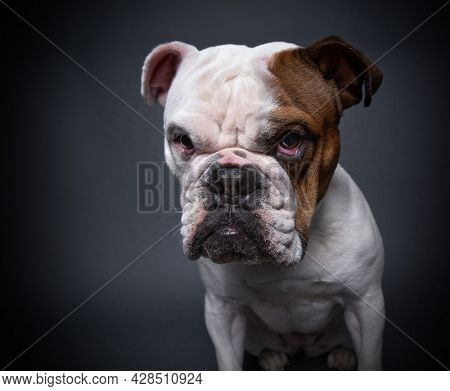 bulldog on an isolated background in a studio