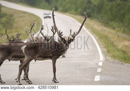 Reindeer Walking In A Group On The Road In Lapland, Natural Background