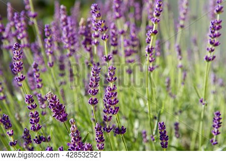 Lavender Blooming In A Garden In Close Up