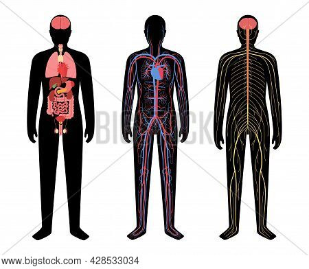 Internal Organs, Nervous And Circulatory System In Human Body. Network Of Nerves Cns And Pns. Arteri