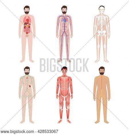 Internal Organs, Muscular And Lymphatic Systems In Human Body. Arterial, Venous Circulatory. Cerebel