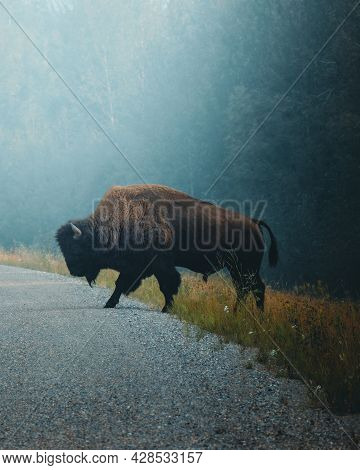 The American Bison Crossing A Road. Wildlife Of North America . High Quality Photo