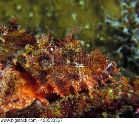 Front View Of A Bearded Scorpionfish Boracay Philippines