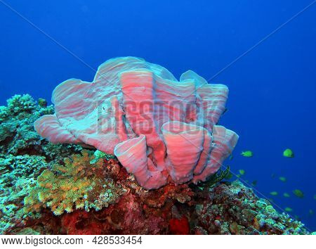 A Soft Coral On A Shallow Reef Maniquin Island Philippines